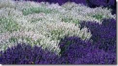 purple_white_lavender_269x149